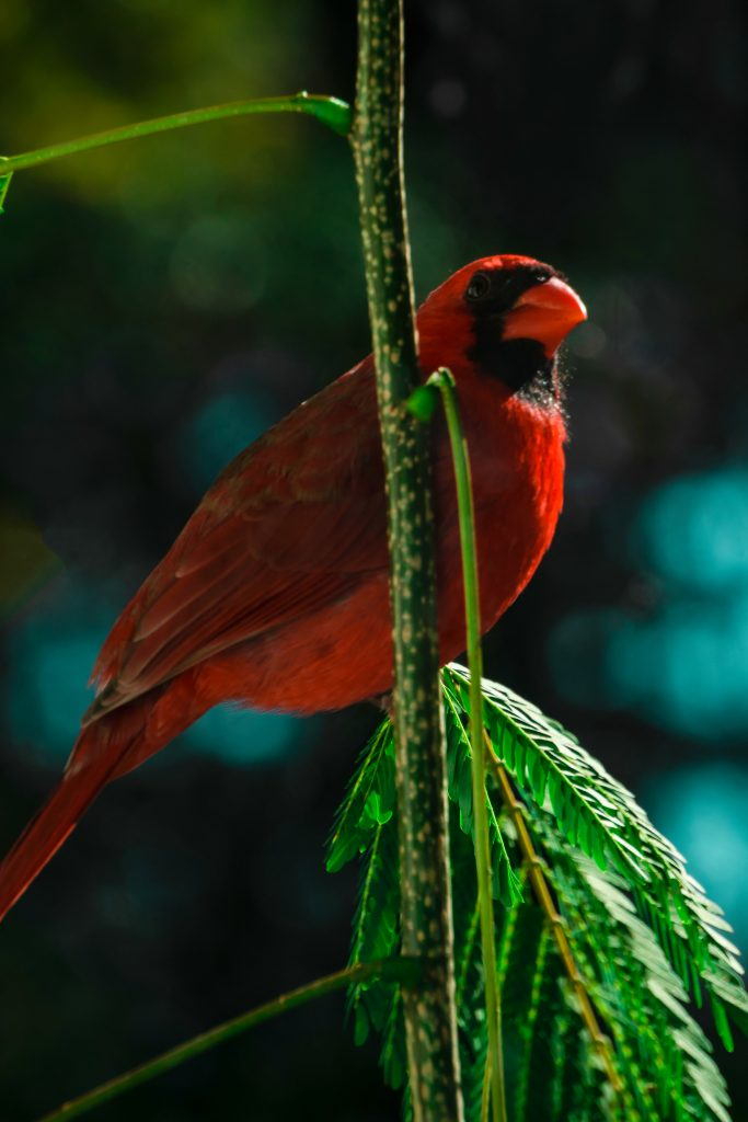 Cardinal image by Alexcina Wartski